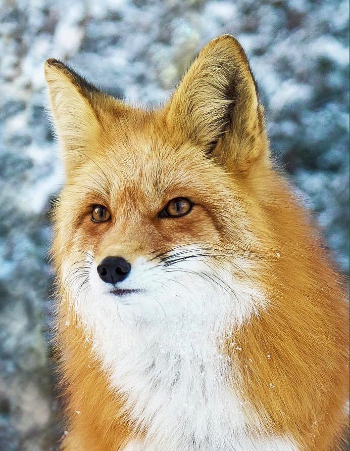 Le renard d'hiver....