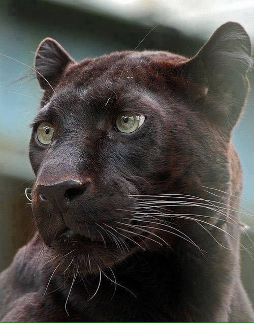 Fascinante panthère noir.....