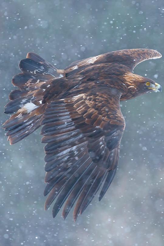 L'aigle royal dans la pluie...