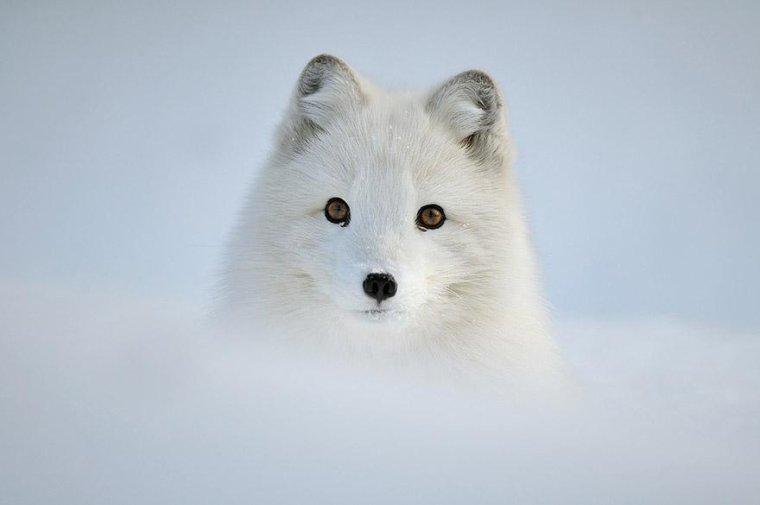 Un jeune loup blanc sort de la neige.....