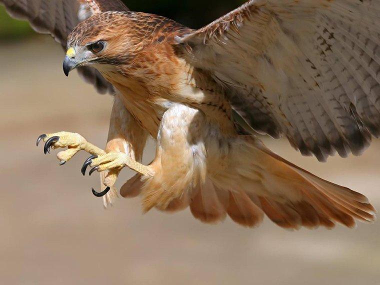 L'aigle prêt à saisir à proie.....