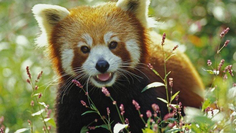 Le Panda rouge...