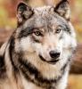 Portrait d'un loup gris....