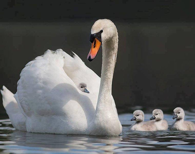 Cygnes.......... et bébés....