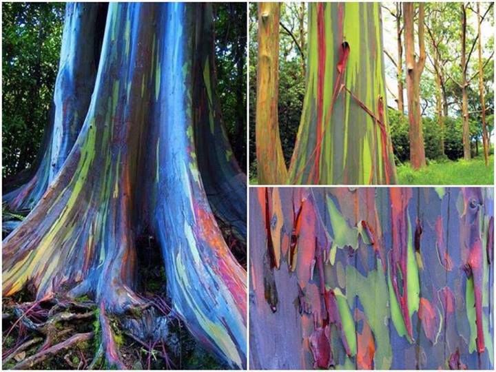 l'eucalyptus arc en ciel....