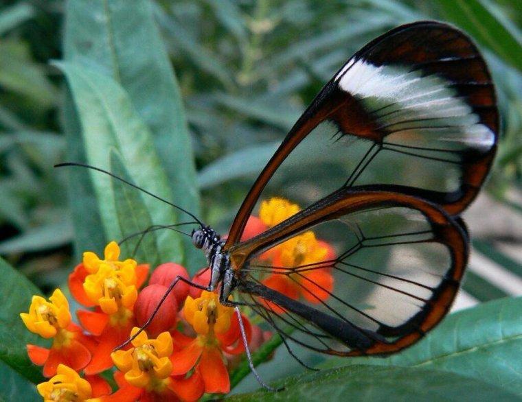 Le papillon aux ailes transparentes ou Greta Oto.