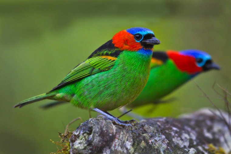 Le Tangara rouge, Amérique du Sud...