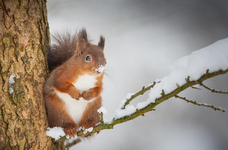 Dernière neige pour l'écureuil rouge...