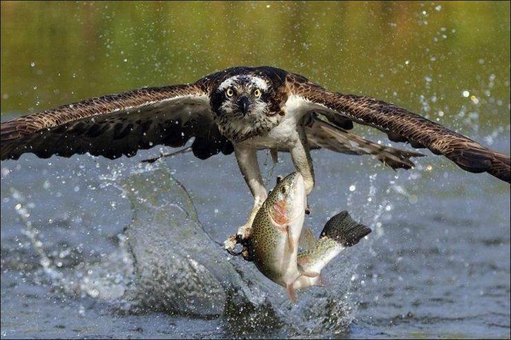 L'aigle aussi aime le saumon.....