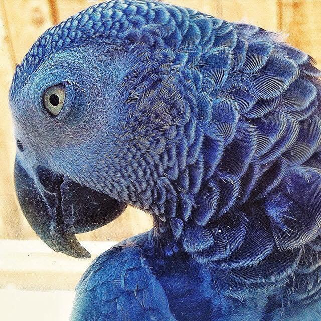 perroquet gris bleu d'Afrique....