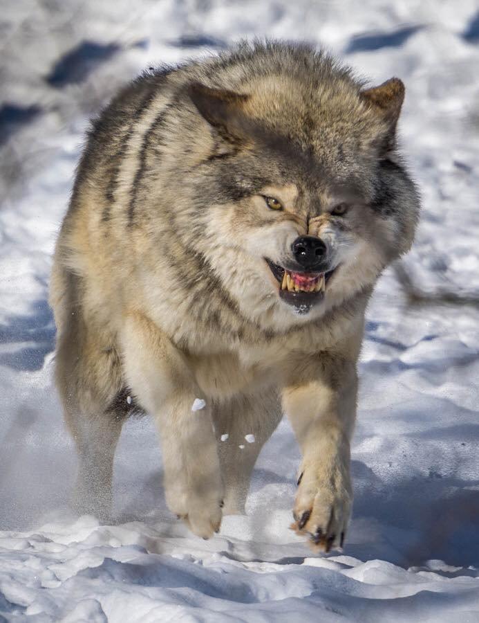 Énervé ce loup....
