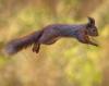 L'Écureuil rouge..... un acrobate de haute voltige......