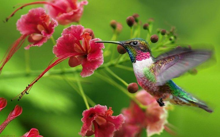 Le colibri, l'artiste du vol stationnaire....
