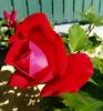 Les roses de mon jardin.....
