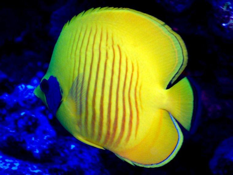 Le poisson papillon jaune masqué....