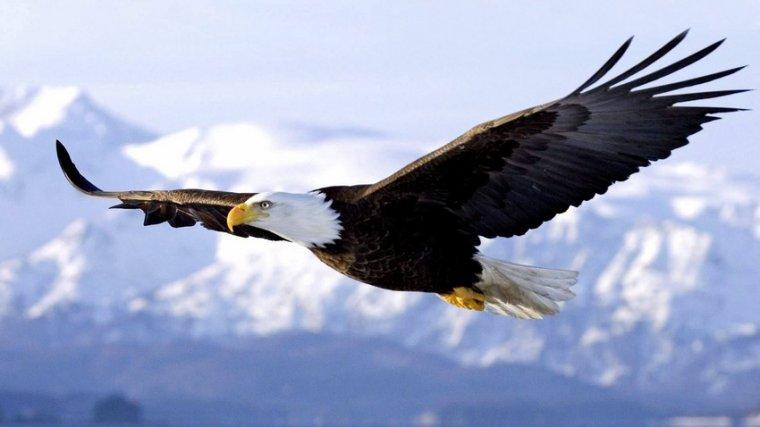 L'aigle pygargue à tête blanche et celui à queue blanche....