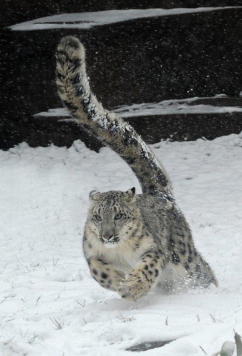 Panthère des neiges en action....