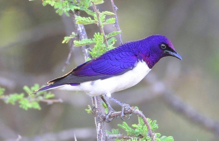 étourneau violet.....