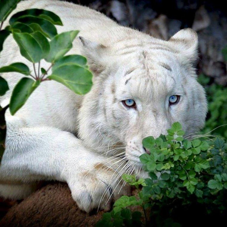 Tigre albinos......