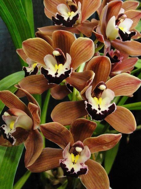 L'orchidée chocolat....