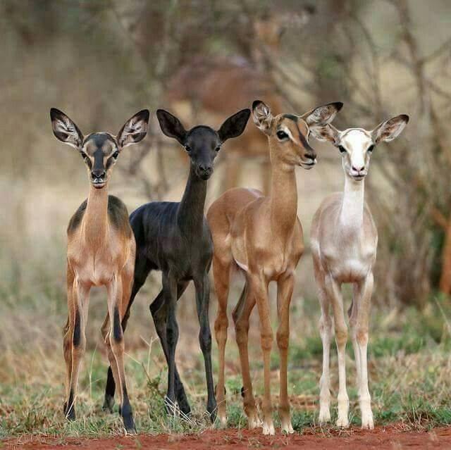 Antilopes colorées.......