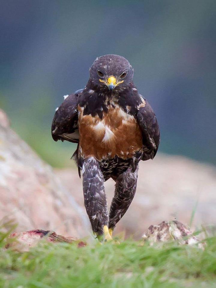 La démarche du faucon.......