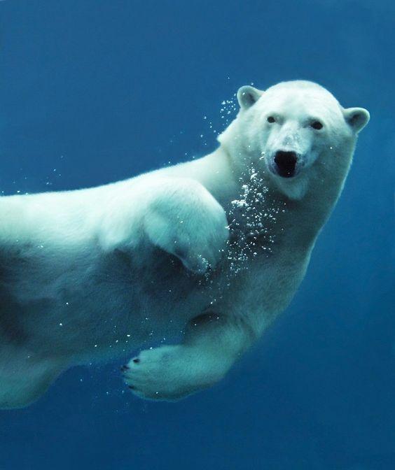 L'ours blanc est un excellent nageur....