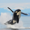L'orque épaulard, maître des océans......