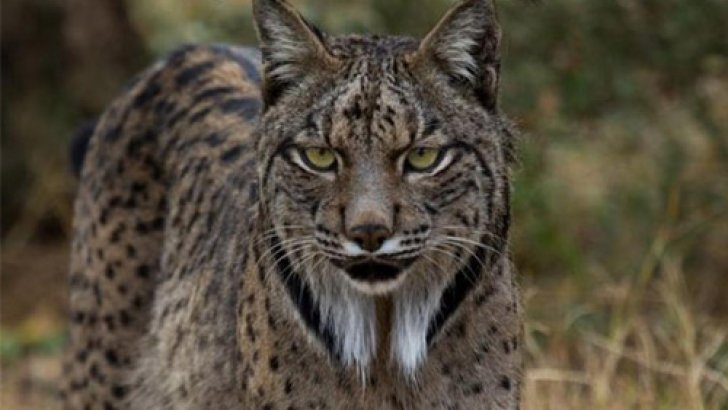 Le lynx-ibérique, le félin le plus rare d'Europe......