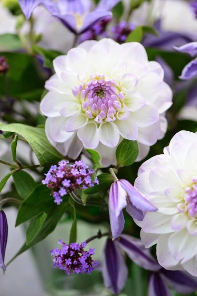 Dahlia blanc et violet....