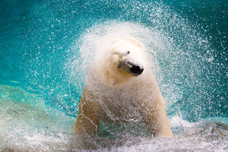 Quand l'ours blanc s'ébroue......