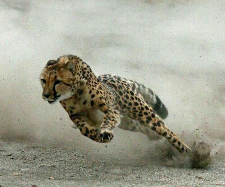 La vélocité du guépard.....
