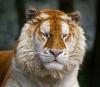 Ligre et tigron...