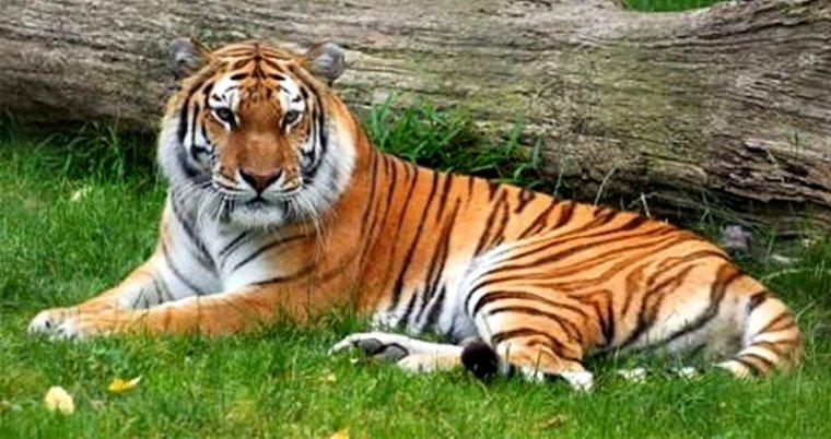 Tigre de Java....