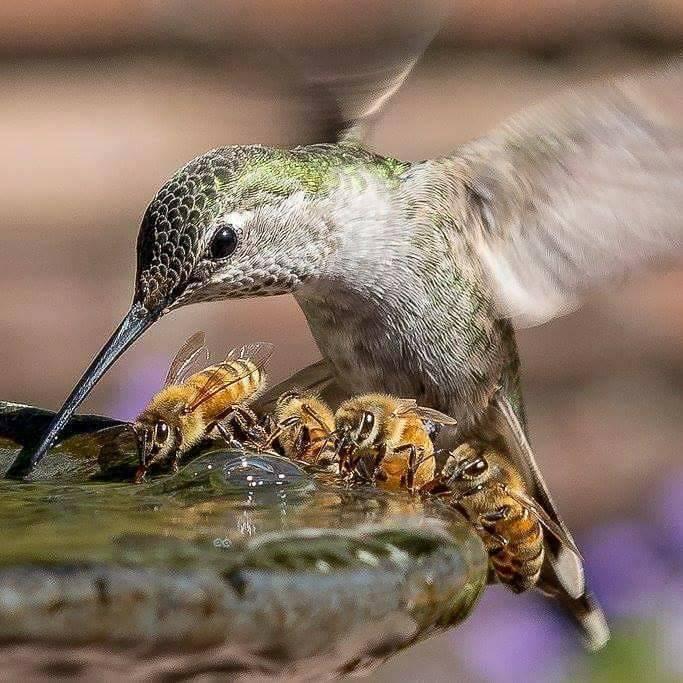 Colibri et abeilles s'abreuvent à la même fontaine....