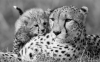 Maman guépard et bébé....