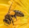 Collecte du pollen.....