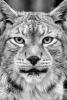 Lynx attentif....