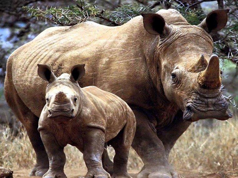 Le rhinocéros Blanc, le dernier vient de s'éteindre.....