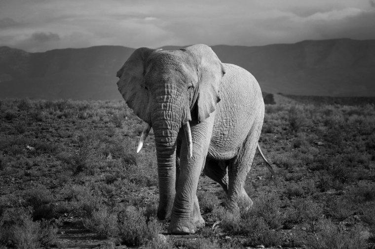 Éléphant d'Afrique....