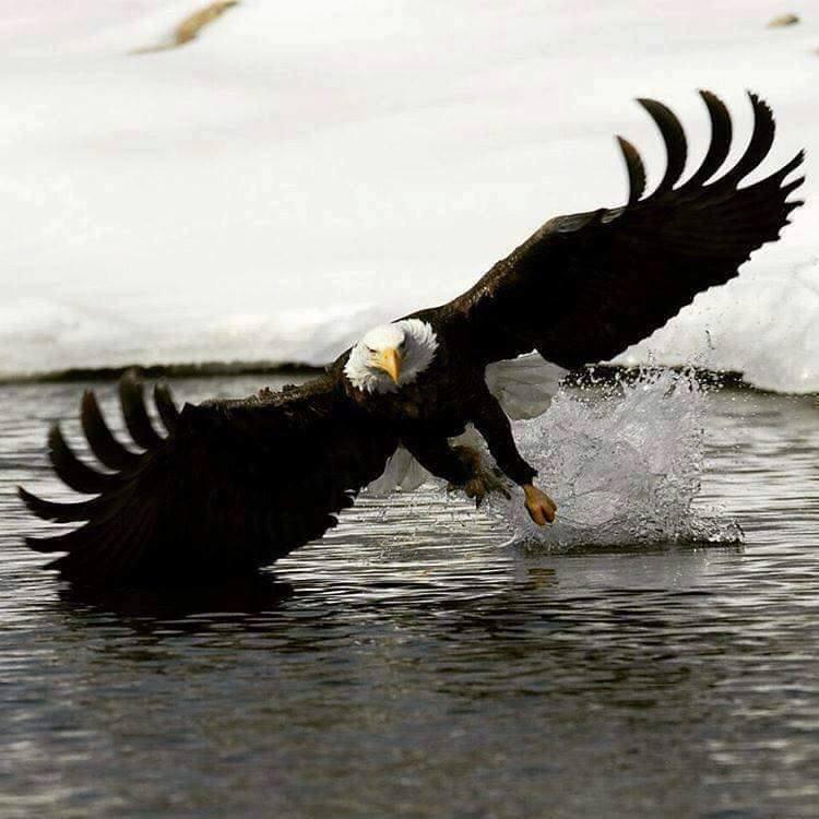 Le Pygargue, l'aigle pêcheur....