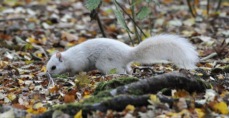 L'écureuil blanc, petit rongeur rarissime.....