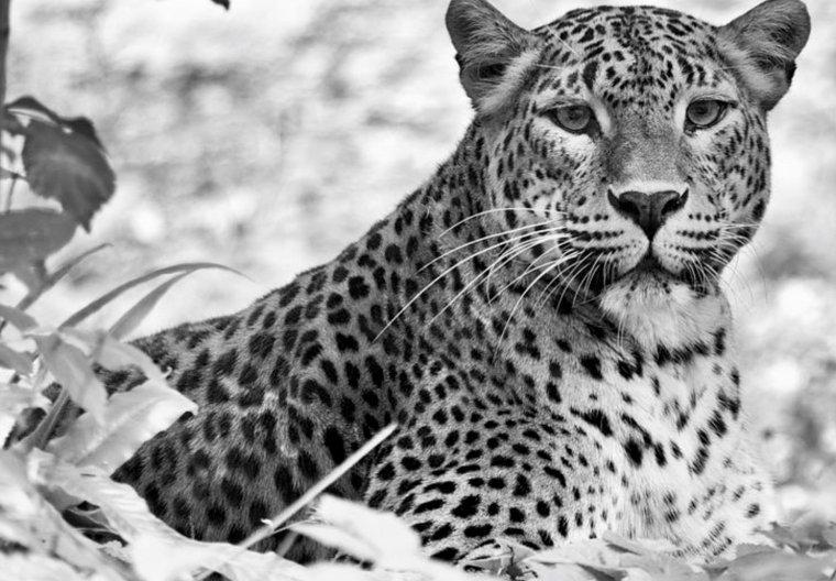 Le léopard....