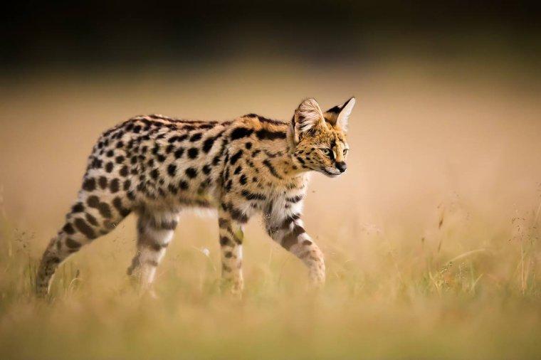 Le Serval, chat sauvage d'Afrique...
