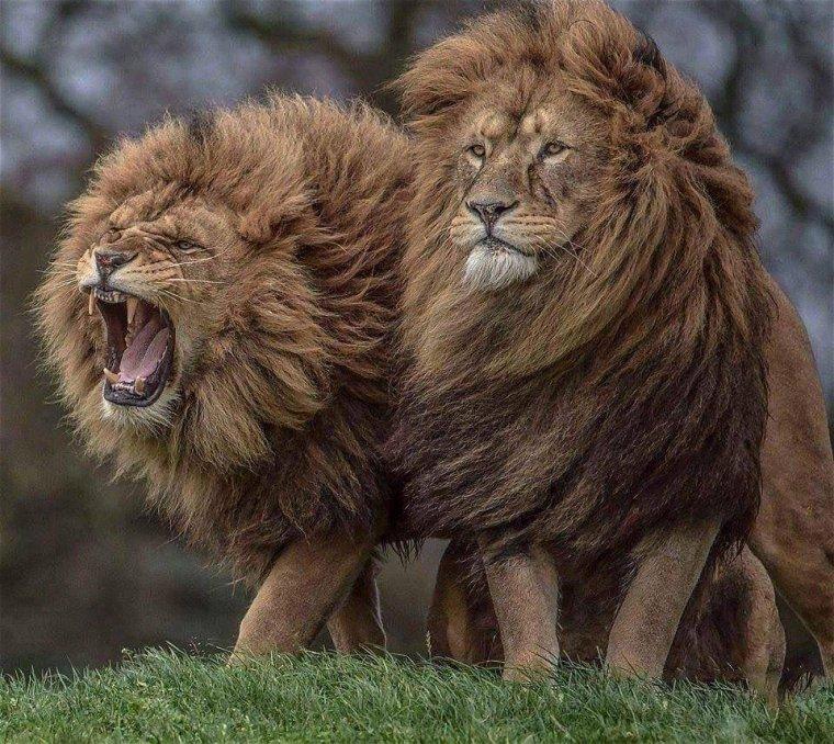 Lions frères