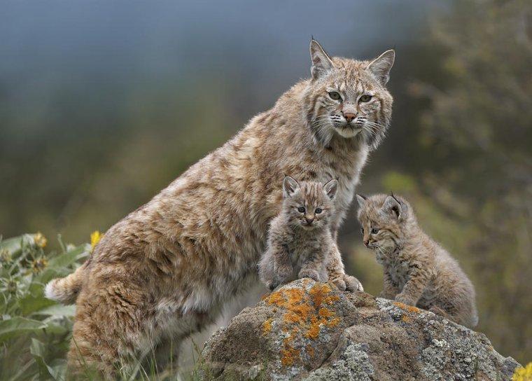 Maman lynx et ses chatons....
