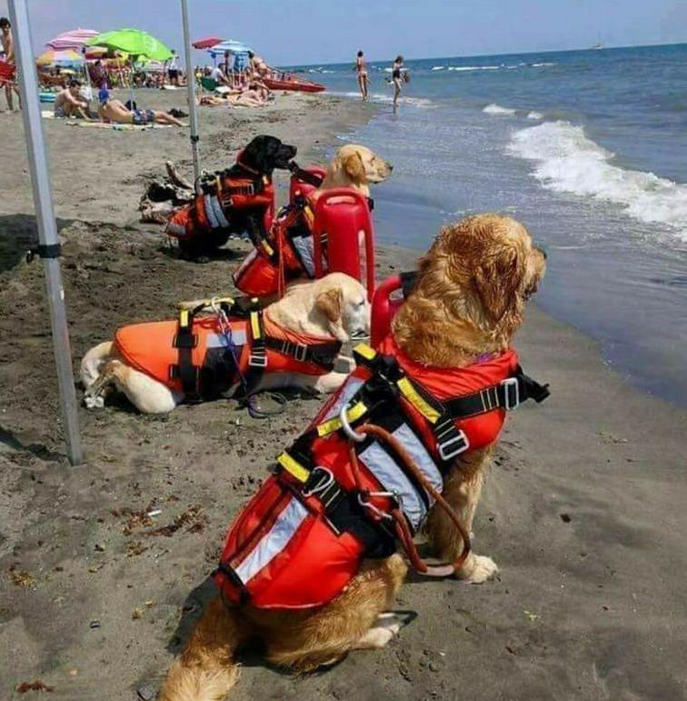 Les chiens sauveteurs