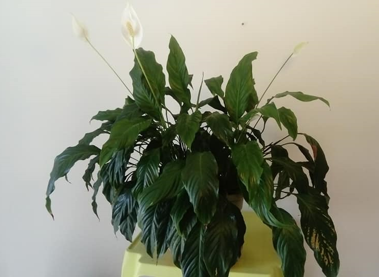 Le Spathiphyllum, plante-cuillère, la photo c'est ma plante.....