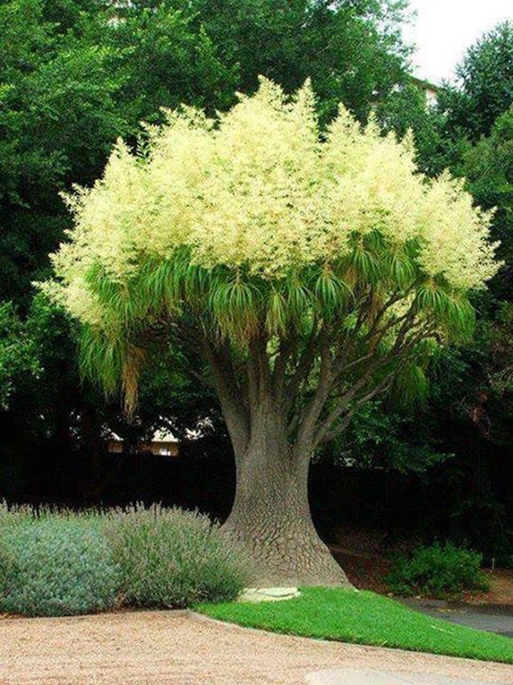 Le palmier queue de cheval en pleine floraison....