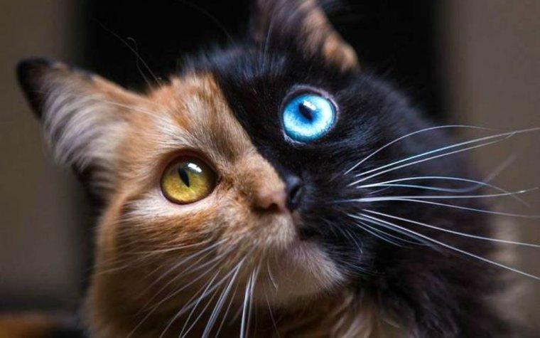 Quimera, le chat à deux visages, star du net.....